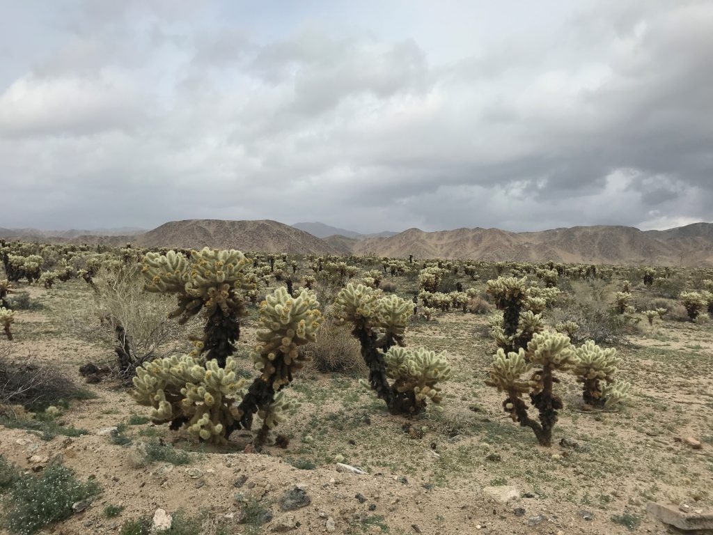 Cholla scenery while driving through Joshua Tree National Park with the kids