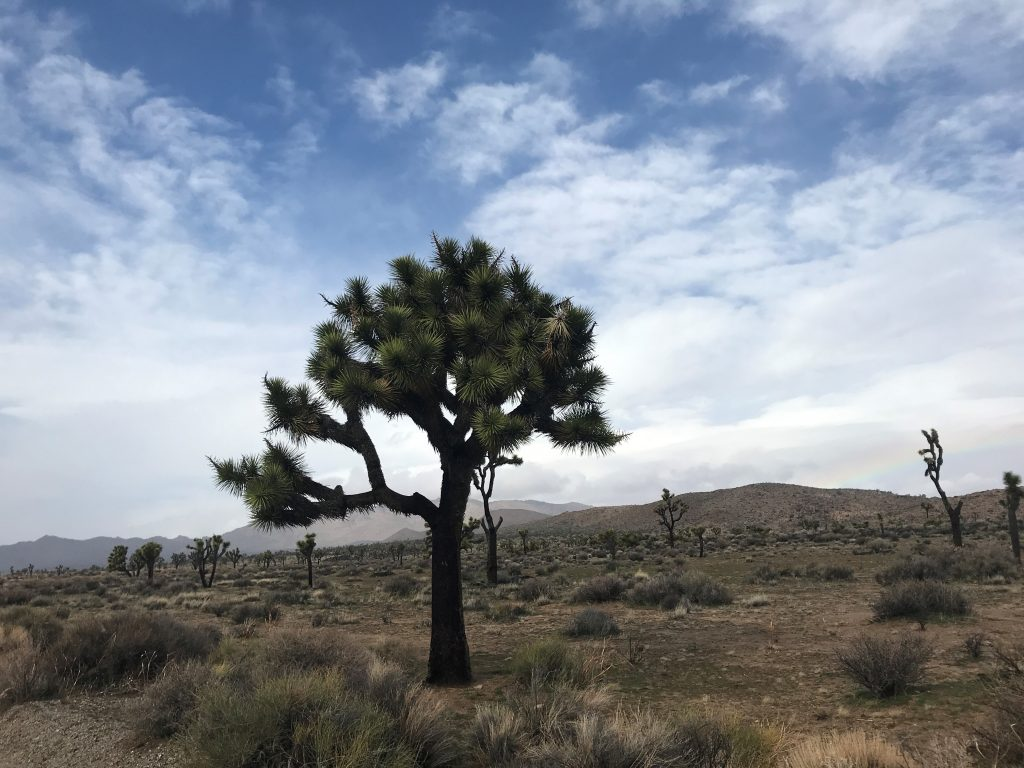 Full size Joshua Tree in the national park